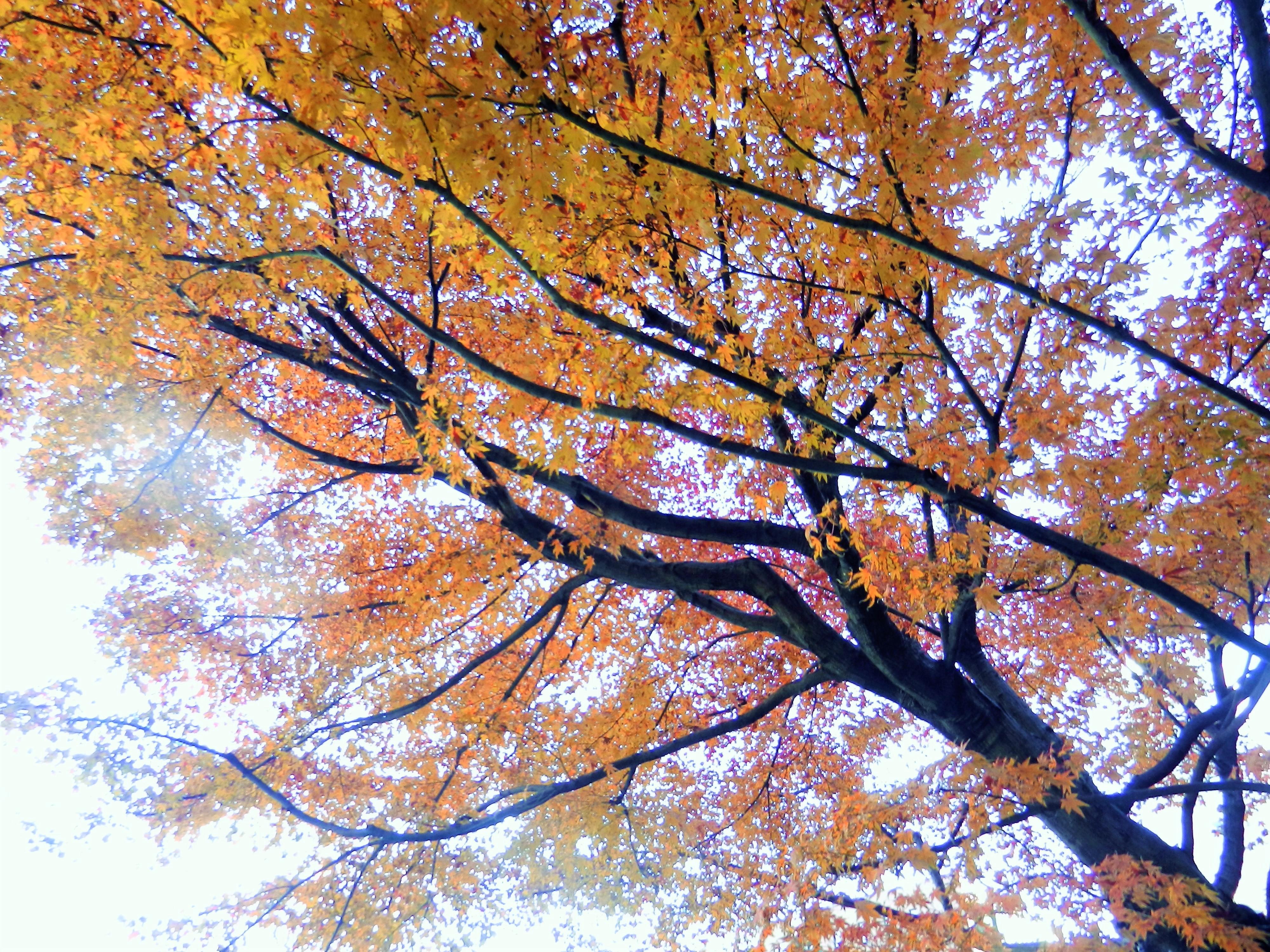 12月的紅葉