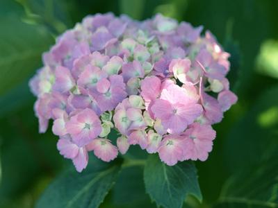 紫陽花(又稱繡球花)