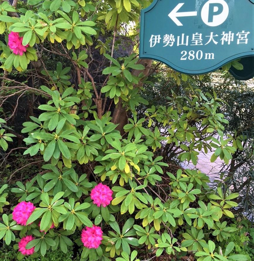 花之王「杜鵑花」