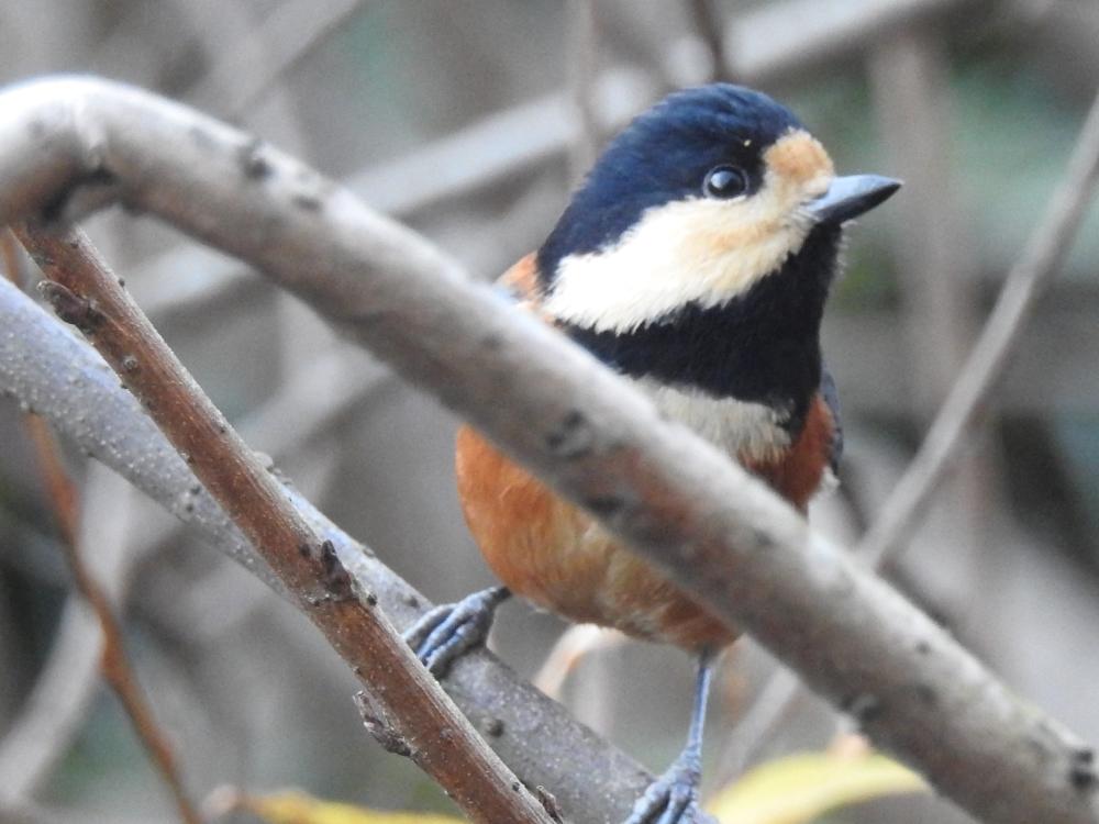 在附近能看到的非常可愛的野鳥
