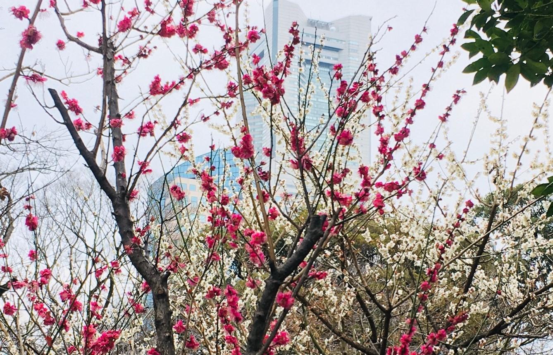 桜木町の梅