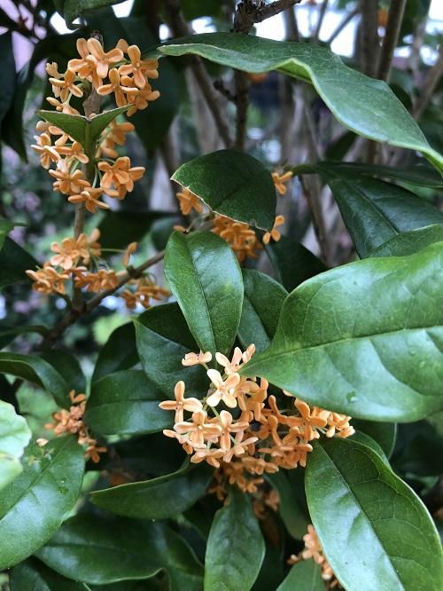 秋の香りのキンモクセイ